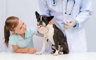 Hund Impfung Boston Terrier - Tierarztpraxis Dr. Brockhaus in Hattingen