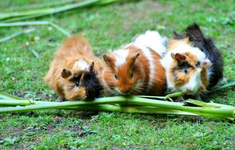 guinea-pig-violetta